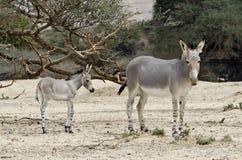 Afrikanischer wilder Esel (Equus africanus) Stockbilder