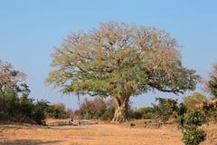 Afrikanischer wilder Feigenbaum Stockfotos