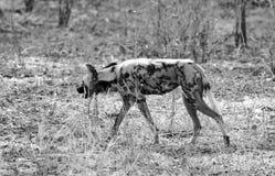 Afrikanischer wilder gemalter Hund, der durch den afrikanischen Busch, Süd-luangwa, Sambia geht Lizenzfreies Stockbild