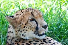 Afrikanischer wilder Gepard Lizenzfreies Stockfoto
