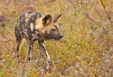 Afrikanischer wilder Hund Lizenzfreies Stockbild