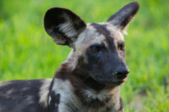Afrikanischer wilder Hund Stockfotografie