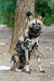 Afrikanischer wilder Hund Stockfotos