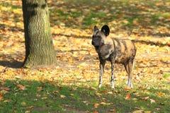 Afrikanischer wilder Hund Lizenzfreie Stockfotos