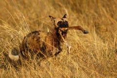Afrikanischer wilder Hund, der ein Impalabein trägt Lizenzfreies Stockbild