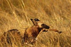 Afrikanischer wilder Hund, der ein Impalabein trägt Lizenzfreie Stockfotos