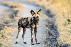 Afrikanischer wilder Hund, der nah aufpasst stockfoto