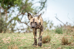 Afrikanischer wilder Hund, der in Richtung zur Kamera im Kruger geht Stockbild