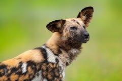 Afrikanischer wilder Hund, Detailporträt mit Tipp herauf Ohr, Okacango-deta, Botswana, Afrika Gefährliches beschmutztes Tier mit  lizenzfreies stockfoto