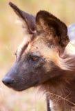 Afrikanischer wilder Hund (Lycaon pictus) Lizenzfreies Stockbild