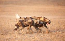 Afrikanischer wilder Hund (Lycaon pictus) Stockfoto