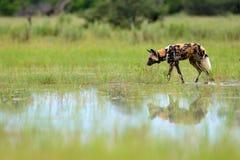 Afrikanischer wilder Hund, Lycaon-pictus, gehend in den See Jagd gemalten Hund mit den großen Ohren, schönes wildes Tier im Natur stockbild