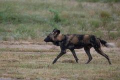 Afrikanischer wilder Hund, Teil eines größeren Satzes bei Sabi Sands Reserve, Kruger, Südafrika Anvisieren sind extrem selten lizenzfreie stockbilder