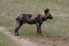 Afrikanischer wilder Hund, Teil eines gr??eren Satzes bei Sabi Sands Reserve, Kruger, S?dafrika Anvisieren sind extrem selten lizenzfreie stockfotos