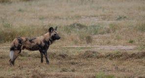 Afrikanischer wilder Hund, Teil eines gr??eren Satzes bei Sabi Sands Reserve, Kruger, S?dafrika Anvisieren sind extrem selten lizenzfreies stockfoto