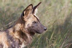 Afrikanischer wilder Hundealphamann Lizenzfreie Stockfotos