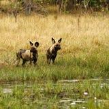 Afrikanischer wilder Hundesatz in der Aktion Stockbild