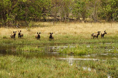 Afrikanischer wilder Hundesatz in der Aktion Stockbilder
