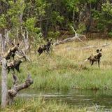Afrikanischer wilder Hundesatz in der Aktion Lizenzfreie Stockfotografie