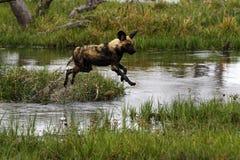 Afrikanischer wilder Hundesatz in der Aktion Stockfoto