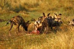 Afrikanischer wilder Hundesatz, der auf eine Impalatötung einzieht Stockfotos
