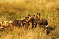 Afrikanischer wilder Hundesatz, der auf eine Impalatötung einzieht Stockbilder