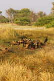 Afrikanischer wilder Hundesatz, der auf eine Impalatötung einzieht Stockfotografie