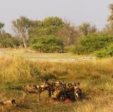 Afrikanischer wilder Hundesatz, der auf eine Impalatötung einzieht Lizenzfreie Stockbilder