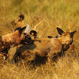 Afrikanischer wilder Hundesatz, der auf eine Impalatötung einzieht Stockfoto