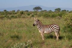 Afrikanischer Zebra Stockfotografie