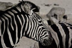 Afrikanischer Zebra Lizenzfreie Stockfotografie