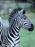 Afrikanischer Zebra Stockbild