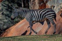 Afrikanischer Zebra stockfoto