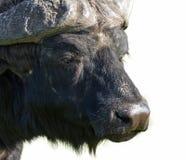 Afrikanisches Büffeldetail Stockfotos