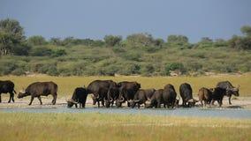 Afrikanisches Büffeltrinken stock video