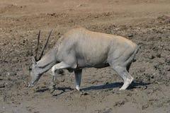 Afrikanisches Eland, einem Bit glaubend gehaftet? stockbilder