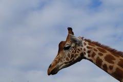Afrikanisches Giraffengesicht - Kopf Stockfotos