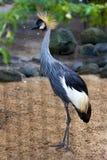Afrikanisches Grau-gekrönter Kran beim Naturumgeben Stockfotografie