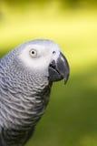 Afrikanisches Grau-(graue) Papageiennahaufnahme Lizenzfreie Stockbilder
