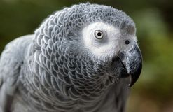 Afrikanisches Grau-Papagei Lizenzfreie Stockfotos