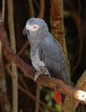 Afrikanisches Grau-Papagei Stockfoto