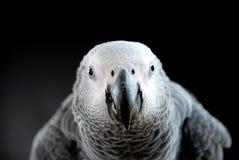 Afrikanisches Grau-Papagei Stockfotos