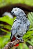 Afrikanisches Grau-Papagei in der Natur Stockfotografie