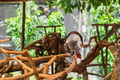 Afrikanisches Grau-Papagei gehockt auf Zweig Lizenzfreie Stockbilder