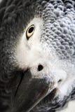 Afrikanisches Grau-Papagei getrennt auf Weiß Stockfotos