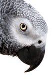 Afrikanisches Grau-Papagei getrennt auf Weiß lizenzfreie stockfotos