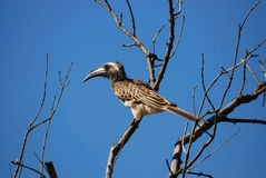 Afrikanisches GrauHornbill (Tockus nasutus) Lizenzfreies Stockbild