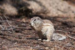 Afrikanisches Grundeichhörnchen Stockbild