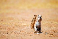 Afrikanisches Grundeichhörnchen Stockfotos