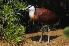 Afrikanisches jacana (Actophilornis-africanus) Lizenzfreie Stockfotos